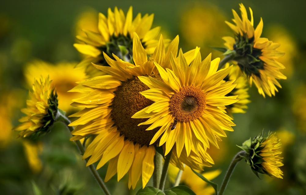 Sonnenblumen im Herbst!