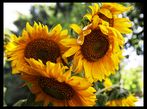 Sonnenblumen im Quartett
