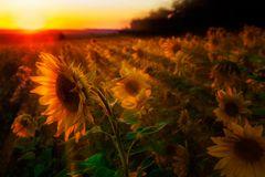 Sonnenblumen im Sonnenuntergang