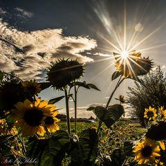 Sonnenblumen in Bietigheim