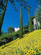 Sonnenblumen in den Gärten von Schloß Trautmansdorf
