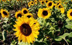 Sonnenblumen in der Heide
