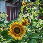 Sonnenblumen in Wischhafen (Elbe)