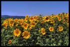 Sonnenblumen Ittingen