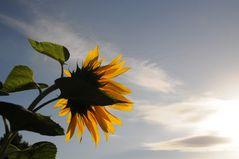 Sonnenblumen kurz nach dem Aufwachen