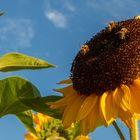 Sonnenblumen mit Besucher 001