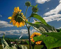 Sonnenblumen mit Blick auf Gratkorn!