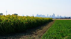 Sonnenblumen mit Hochhäusern