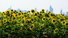 Sonnenblumen mit Skyline