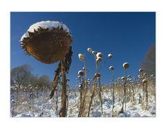 Sonnenblumen mit weißen (Winter-) Schlafmützchen...
