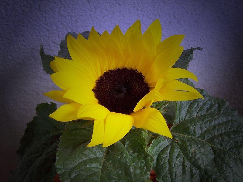Sonnenblumen - Nicht nur Schön...