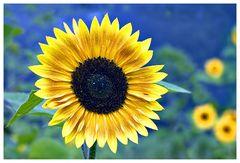 Sonnenblumen, oder .....