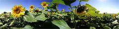 Sonnenblumen Panorama