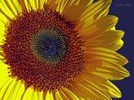 Sonnenblumen-Porträt
