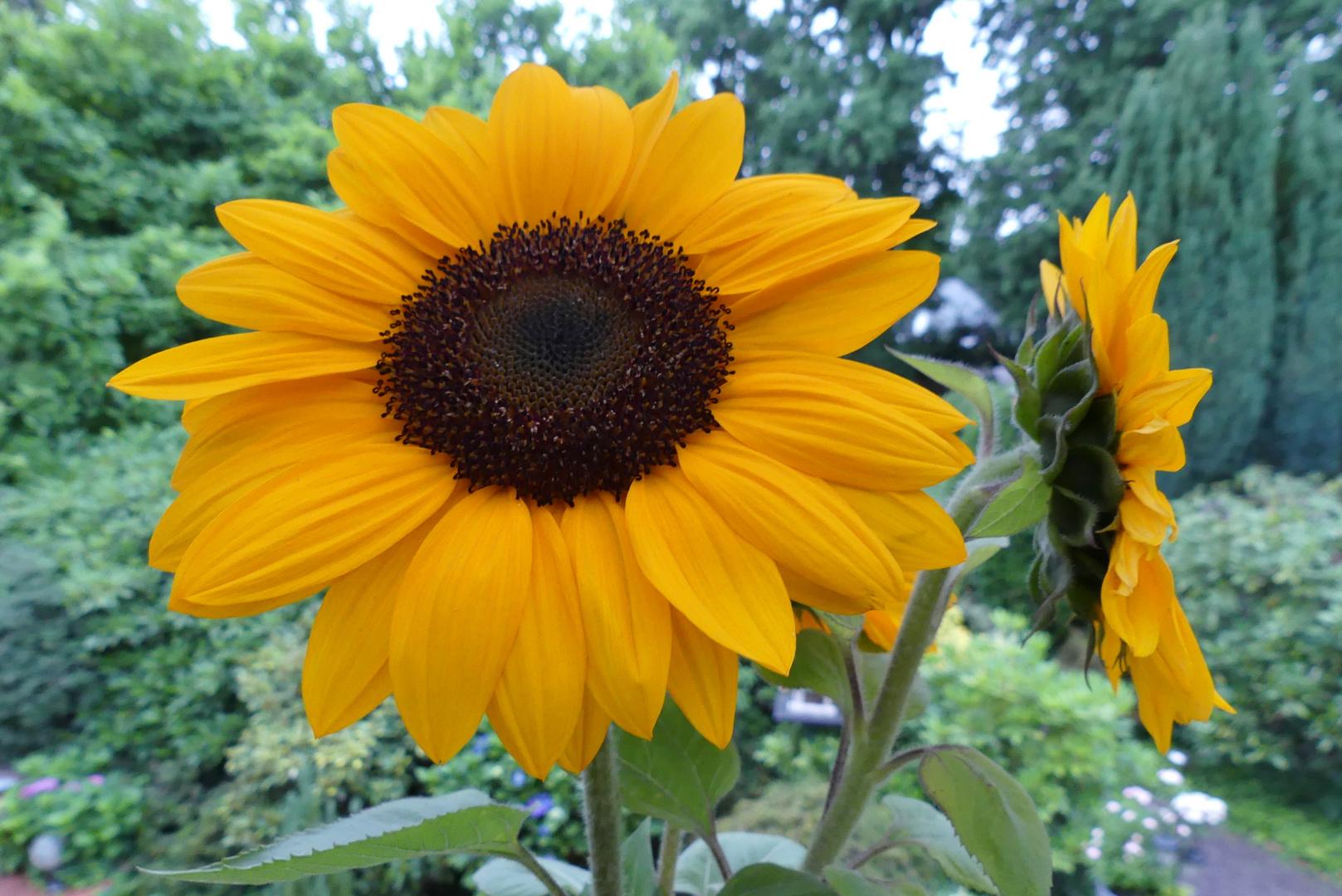 Sonnenblumen sind immer ein willkommenes Besuchsgeschenk