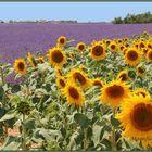 Sonnenblumen und Lavendel