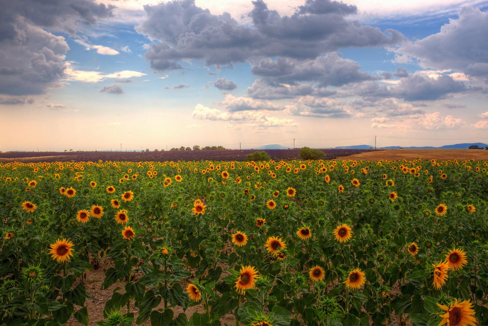 Sonnenblumen und Lavendel in der Provence