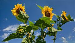 Sonnenblumen vor blauem Himmel