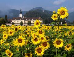 Sonnenblumen vor dem Stift Rein!