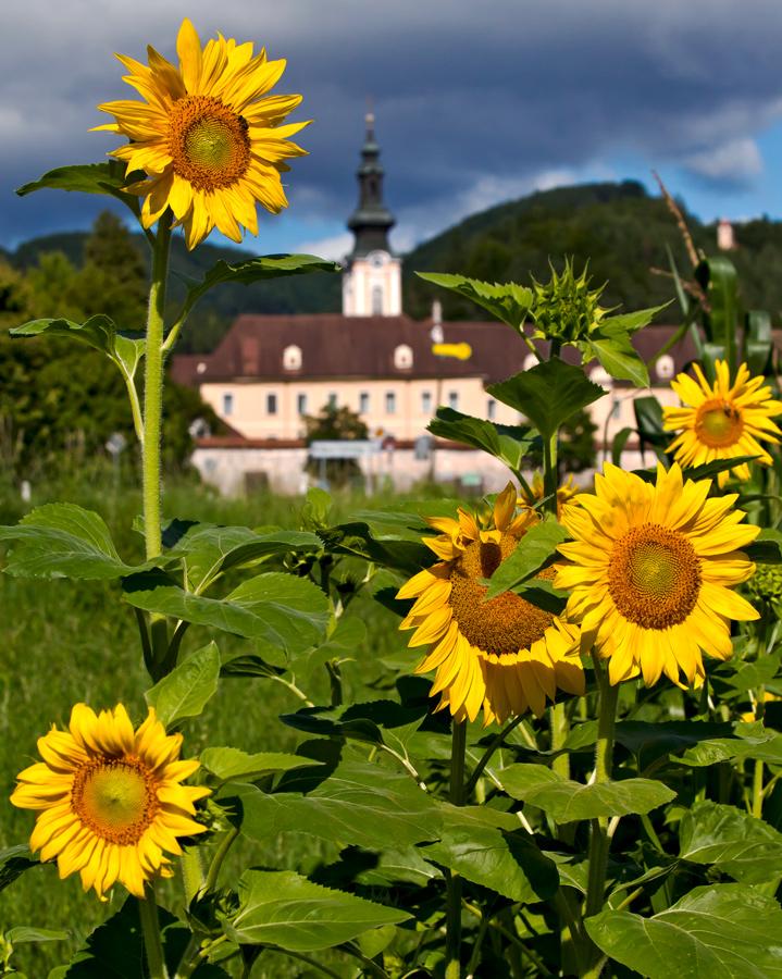Sonnenblumen vor dem Stift Rein bei aufziehendem Gewitter!