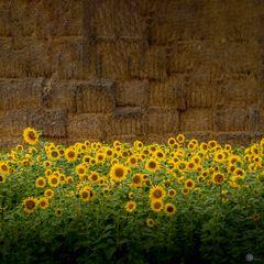 Sonnenblumen vor Strohballen