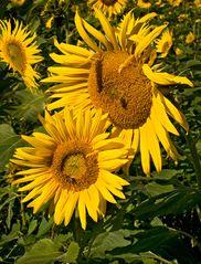 Sonnenblumen zum Herbstbeginn!
