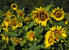 Sonnenblumen zum Selberpflücken!
