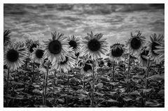 Sonnenblumen zum selberpflücken