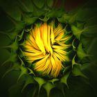 Sonnenblumenaufgang