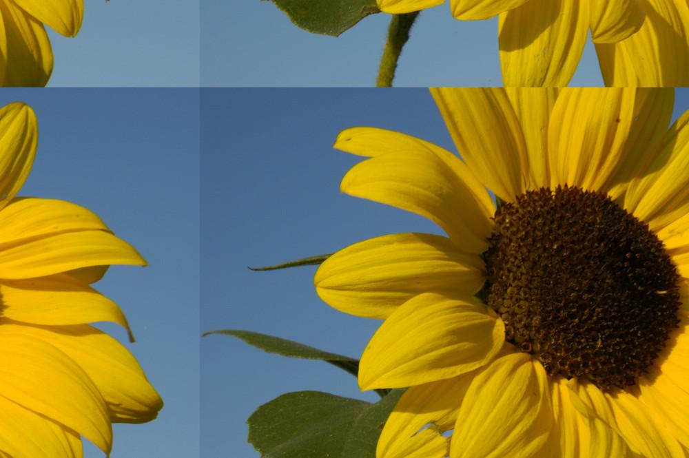 Sonnenblumenexperiment