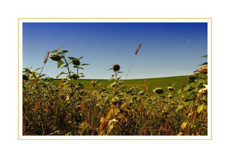 ..Sonnenblumenfeld