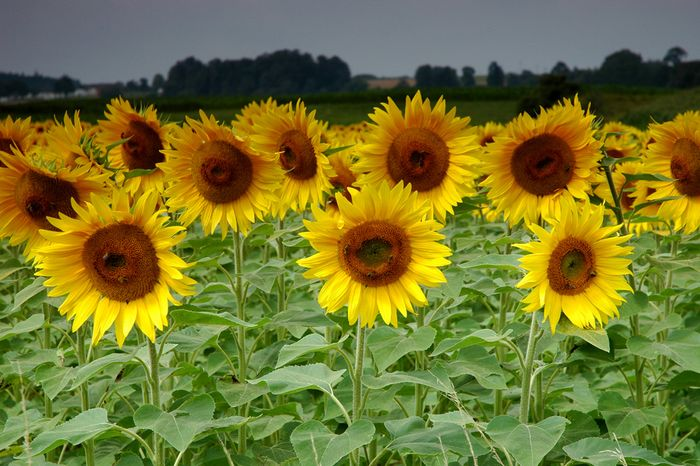 Sonnenblumenfeld im Mostviertel