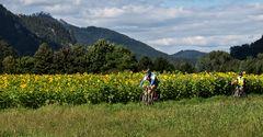 Sonnenblumenfeld zu Beginn des Herbstes in der Gratweiner Au!