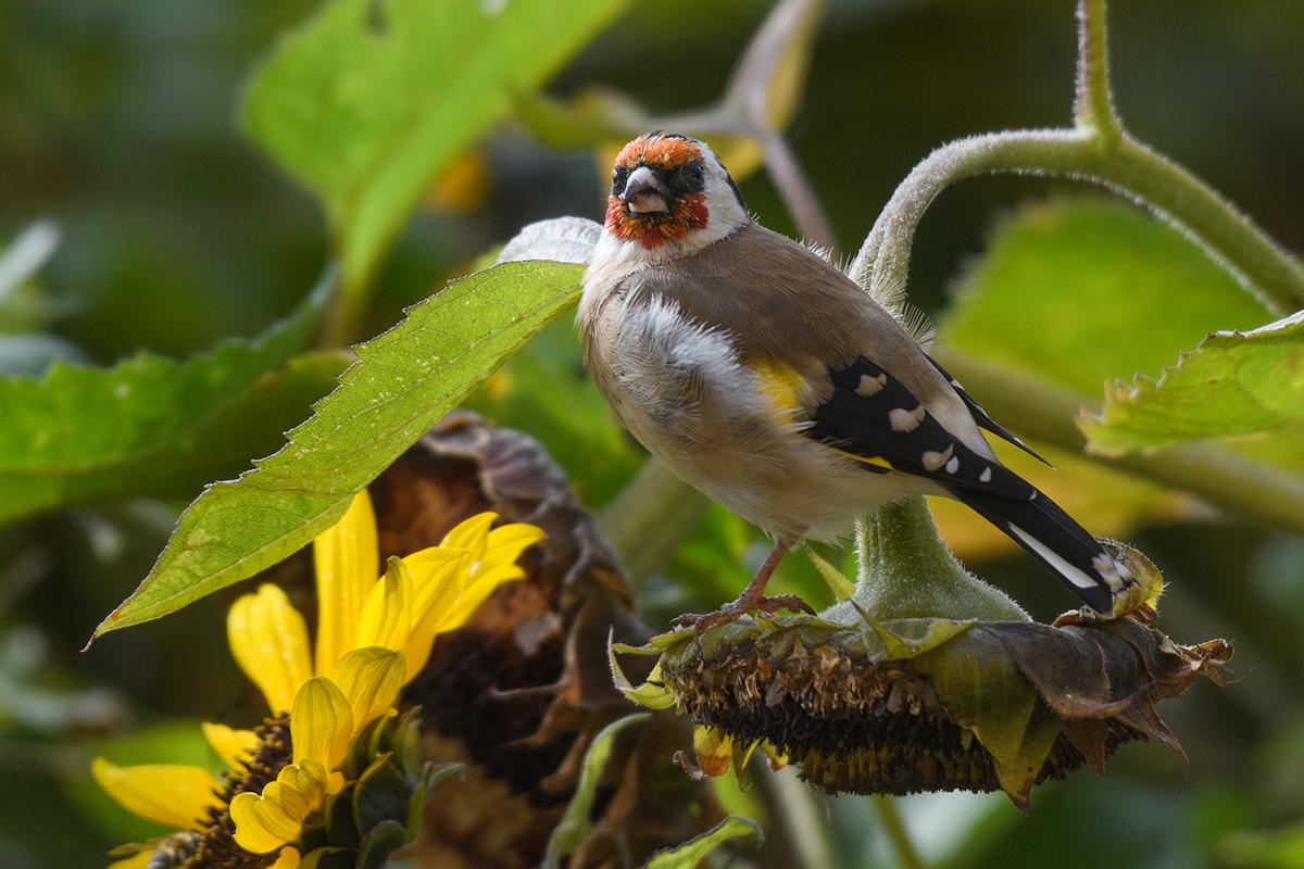 Sonnenblumenfink