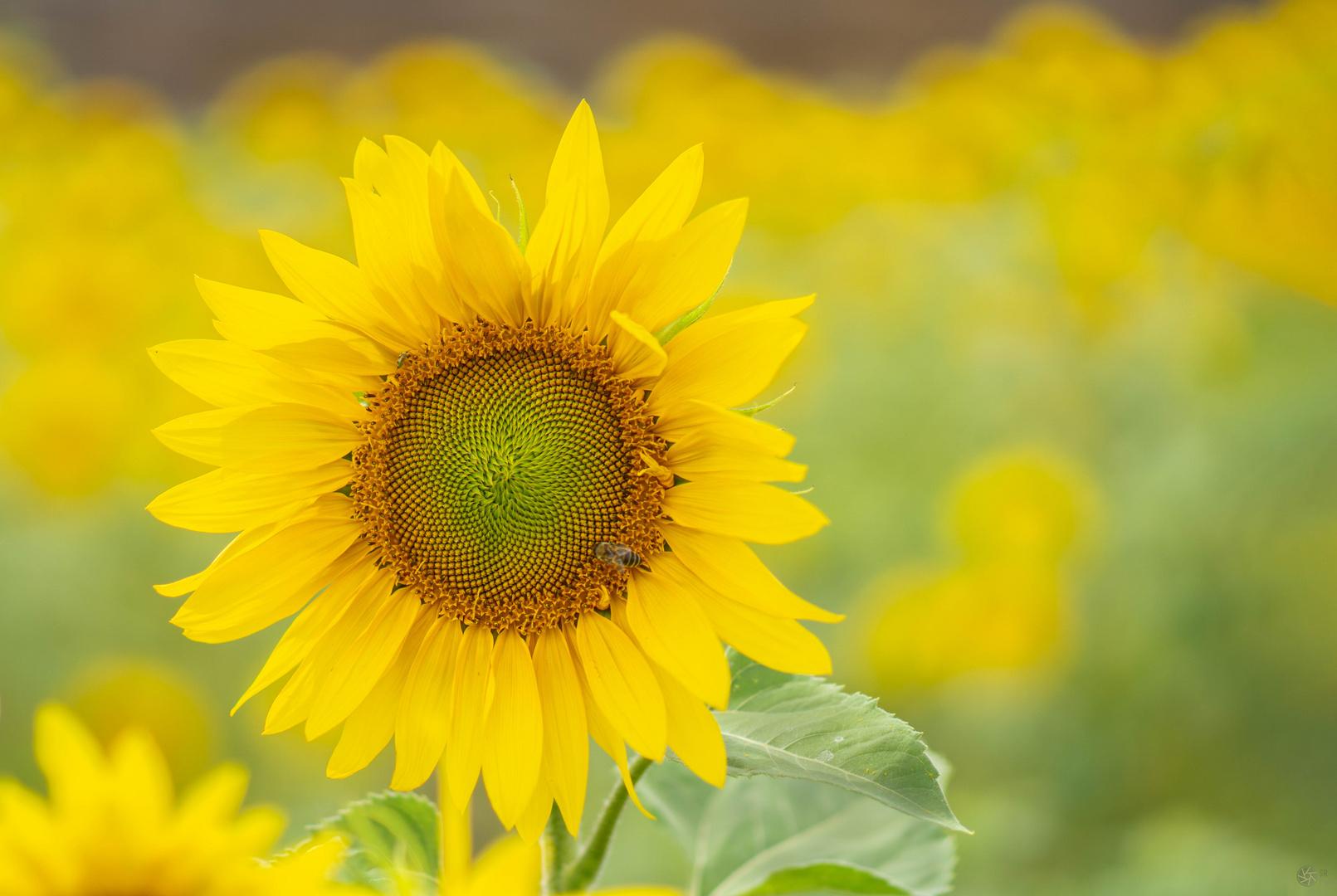 Sonnenblumenglück
