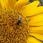 Sonnenblumenhonig