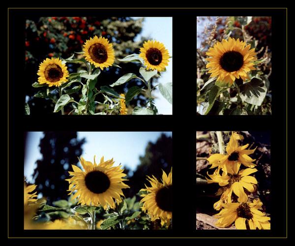 Sonnenblumenkabinett