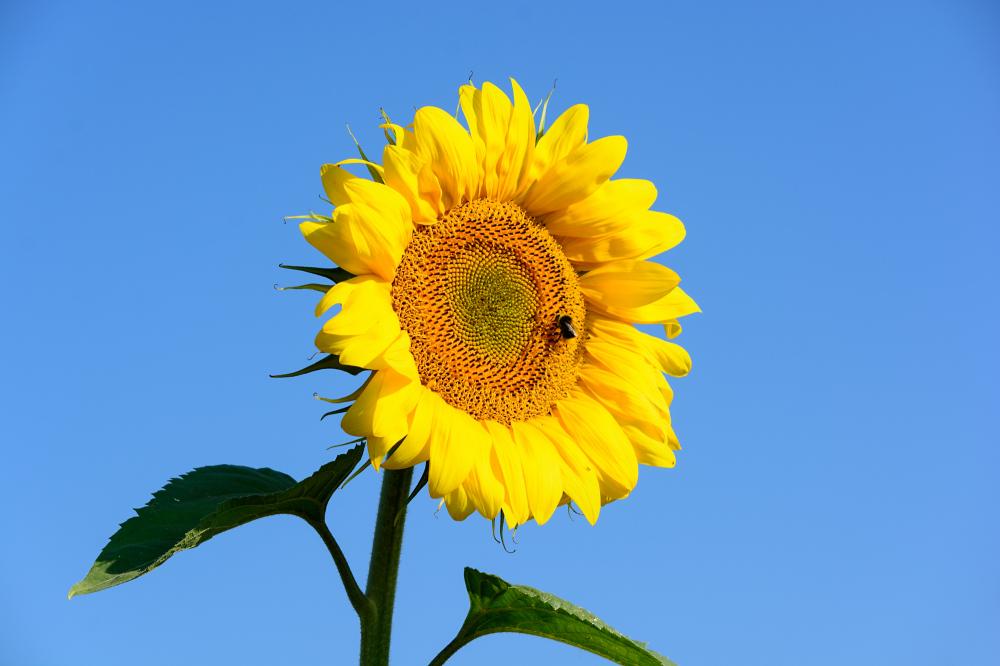 Sonnenblumenkollektion