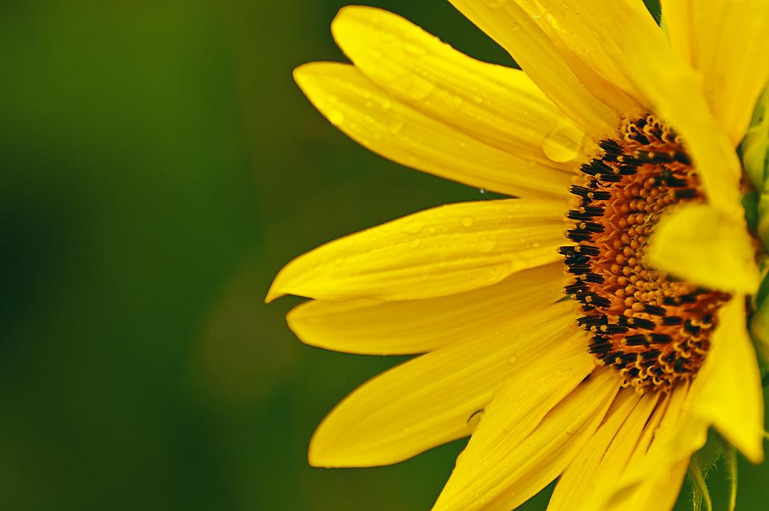 Sonnenblumenkopf