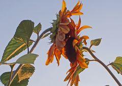 Sonnenblumenliebe am Abend