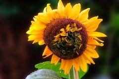 Sonnenblumenmutation