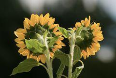 Sonnenblumenpaar