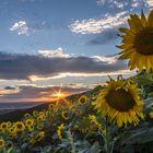 - SonnenblumenSonnenuntergang -