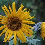 Sonnenblumenstrahlen