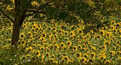 Sonnenblumentraum
