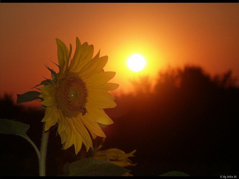 Sonnen(blumen)untergang :)