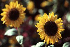 Sonnenblumenzeit...