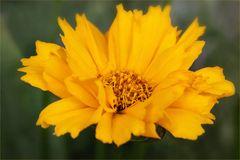 Sonnenbraut - Helenium hoopesii...
