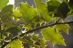Sonnendurchflutete Stechpalme (Ilex)