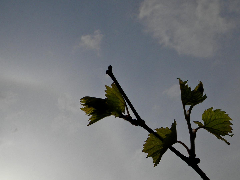 Sonnenhalo heute nachmittag neben einer Weinranke, der aus einem früheren Rätsel. . . .